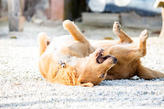 Dog relax action cute Royalty Free Stock Photos