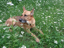 Dog relax on green meadow amid wildflowers. Shepherd dog dreaming on green meadow among white wildflowers Stock Photo