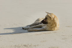 Dog relax. A Dog relaxing on  beach Stock Images