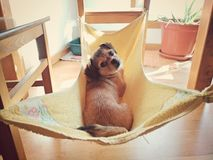 Dog relaxed in her hammock stock image