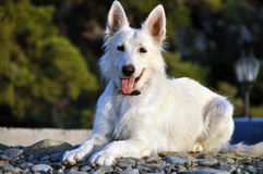 Dog relaxing Royalty Free Stock Photo