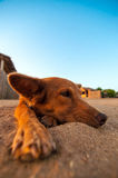 Dog Relaxing on a Beach. A lazy dog lying in the sand at a beach and relaxing Royalty Free Stock Photo