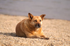 Dog relaxing. On the beach Stock Photos