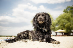 Dog relaxing on beach Stock Photos