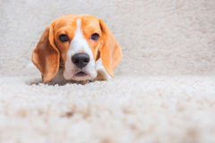 Dog relaxing on the carpet Royalty Free Stock Images