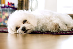 Dog relaxing on carpet Stock Photography