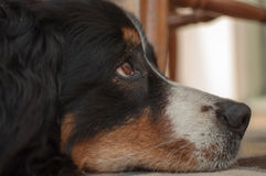 Dog. Relaxing and contemplating life Royalty Free Stock Photography
