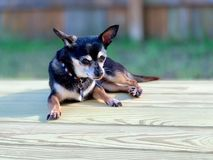 Dog relaxing on a deck stock photos