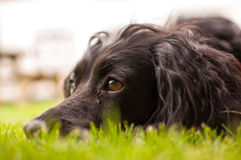 Dog relaxing. Gorgeous dog relaxing in the grass Stock Photos