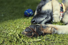 Dog relaxing Stock Images