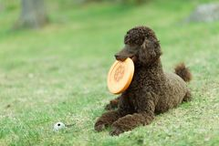 Dog relaxing on lawn Royalty Free Stock Photos
