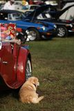 Dog relaxing next to vintage British car at show. Dog relaxing on grass next to vintage British car at show Royalty Free Stock Photos