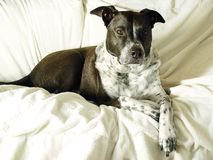 Mixed Breed Dog  Relaxing. Portrait of mixed Breed dog relaxing Stock Image