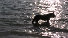 Dog relaxing in the sea. stock footage
