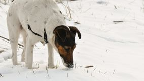 Dog relaxing in snow. Cute dog smooth fox terrier relaxing in snow royalty free stock photos