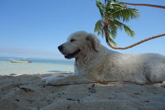 Dog relaxing under a palm tree in Fiji Stock Image