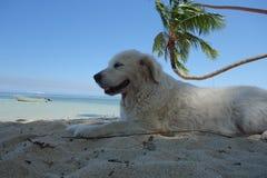 Dog relaxing under a palm tree in Fiji. Golden retriever relaxing under a palm tree on the coral coast, Fiji Stock Image