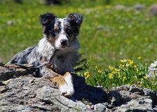 Dog Relaxing in the Wild. This image of my Australian Shepherd pup was taken in the Jewell Basin Hikng area of western Montana Royalty Free Stock Photography