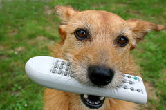 Dog with the remote control in her mouth. Cute scruffy terrier dog holding the television remote control in her mouth stock photography