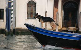 Dog the rescuer. The dog the rescuer floats on a motor boat on the channel of Venice Royalty Free Stock Image