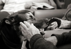 Dog in the rest home. Pet therapy series. Gentle dog in the resthome looking at an elderly resident who's hand is coming up to pet her. Black and white image stock photography
