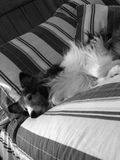 Dog Resting. My pet dog resting. Shot with a Canon Powershot A520 camera Stock Images