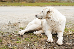 Dog resting Royalty Free Stock Images