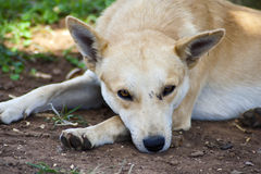 Dog resting Stock Image