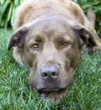 Dog resting Stock Images