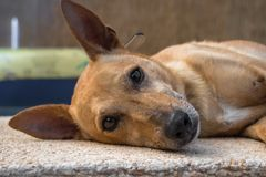 Dog resting and with alert ears. Brown dog resting and with alert ears stock photos