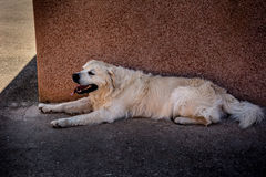 Dog resting. Big light dog resting in the shadow with tongue out. Tired from the sun. Shot in Sardinia, Italy Royalty Free Stock Images