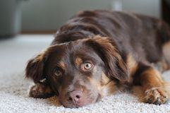 Dog Resting on Carpet. Dog Awakened from Nap on Carpet Royalty Free Stock Image