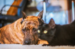 Dog resting on a carpet with a playful cat. Stock Photography