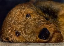 Dog resting close up. An airedale terrier head shot close up. In this portrait the airdale dog has his head resting on the carpet and the photographer has taken royalty free stock images