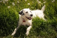 Dog In Dandelion Field Royalty Free Stock Image
