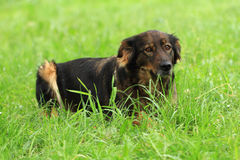 Dog resting in the grass Stock Photography