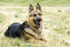 Dog resting in a grass field. Portrait of german shepherd laying in a grass field Royalty Free Stock Photos