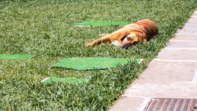 Dog resting on the grass Royalty Free Stock Images