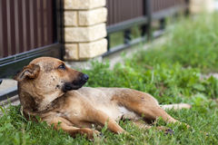 Dog resting on grass in summer.  Stock Photography