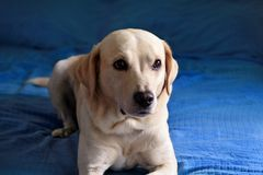 Dog is resting at home. Photo of yellow labrador retriever dog posing and resting on bed for photo shoot. Portrait of labrador. royalty free stock images