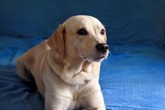 Dog is resting at home. Photo of yellow labrador retriever dog posing and resting on bed for photo shoot. Portrait of labrador. stock images