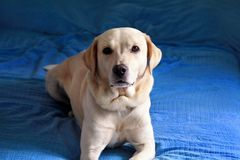 Dog is resting at home. Photo of yellow labrador retriever dog posing and resting on bed for photo shoot. Portrait of labrador. royalty free stock image