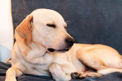 Dog is resting at home. Yellow labrador retriever dog laying. Dog is resting at home. Yellow labrador retriever dog laying in the bed. A beautiful dog enjoys on stock photography