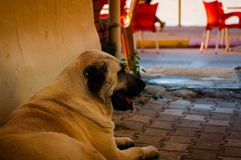 Dog Resting In A Hot Summer Day. A street dog resting on a corner of a street in a hot summer day stock photography