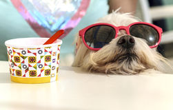 Dog resting after an ice cream taking Royalty Free Stock Image