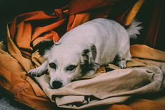 Dog resting. Image of a dog resting on some orange sheets Royalty Free Stock Images