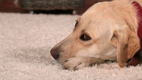 Dog resting indoors - lying on the floor stock footage