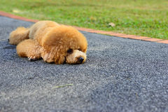 Dog resting. After long walk in the park Stock Photo