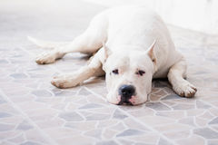 Dog resting royalty free stock photo