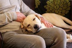 Dog is resting for man owner petting his pet, closeup. Yellow labrador retriever dog feel happy while his owner pampering. stock image